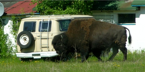 Wood Bison and Van
