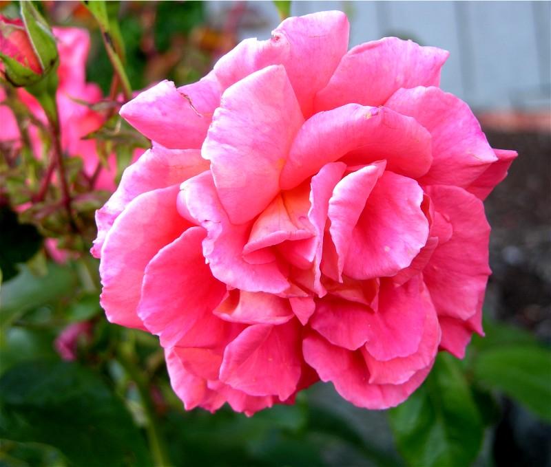 August 3 2008 Flowers In Poulsbo